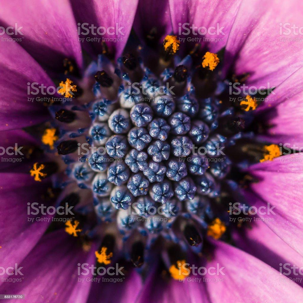 Blue Pincushion stock photo