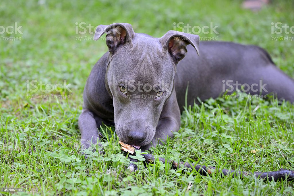 Blue pit-bull lying on grass and looking at camera. stock photo