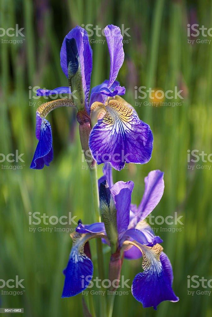 Blue-plant Lizenzfreies stock-foto