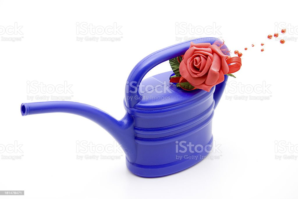 Blue plastic watering can with red rose stock photo