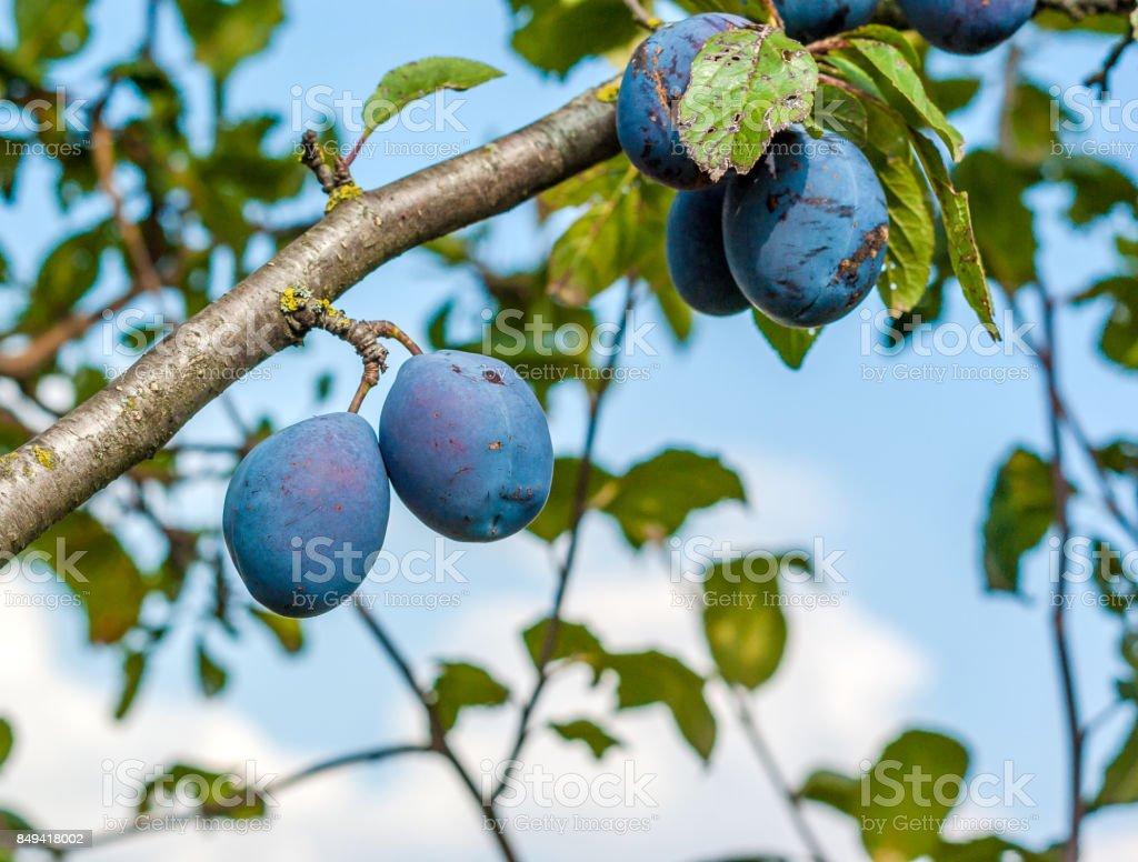Blue plum ripe berries on a tree stock photo