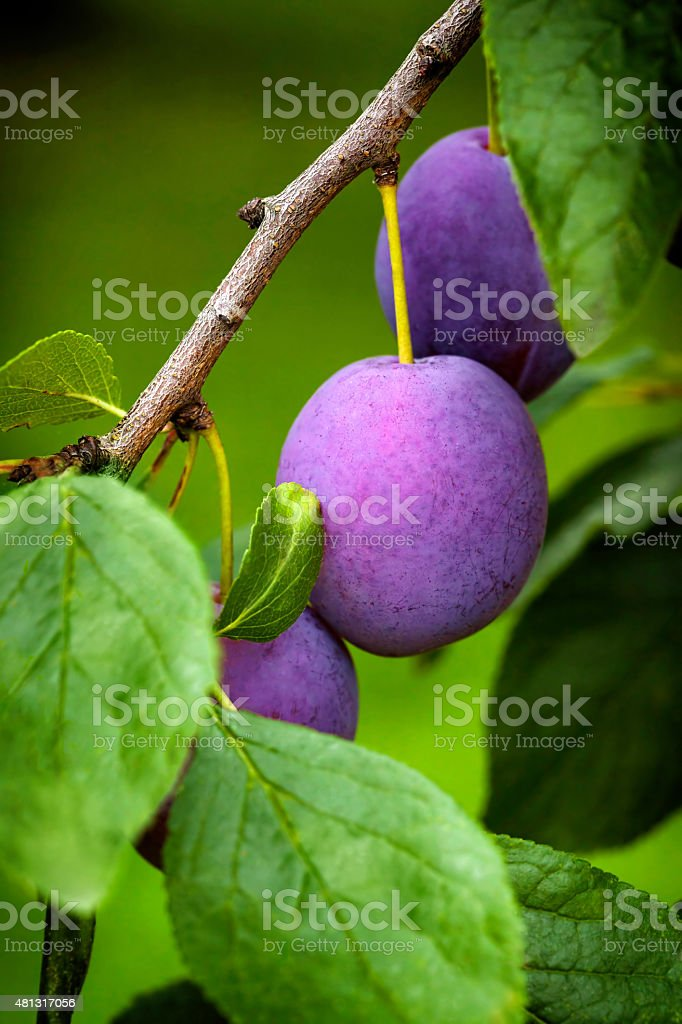 Blue plums on the tree stock photo