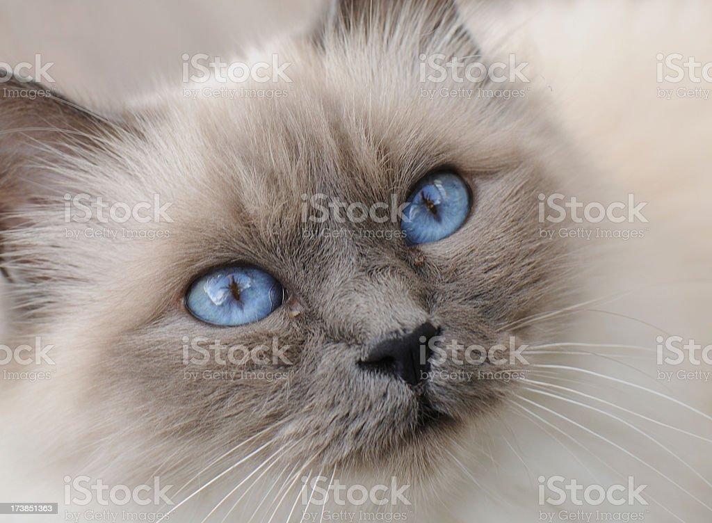 Blue Point Birman Cat stock photo