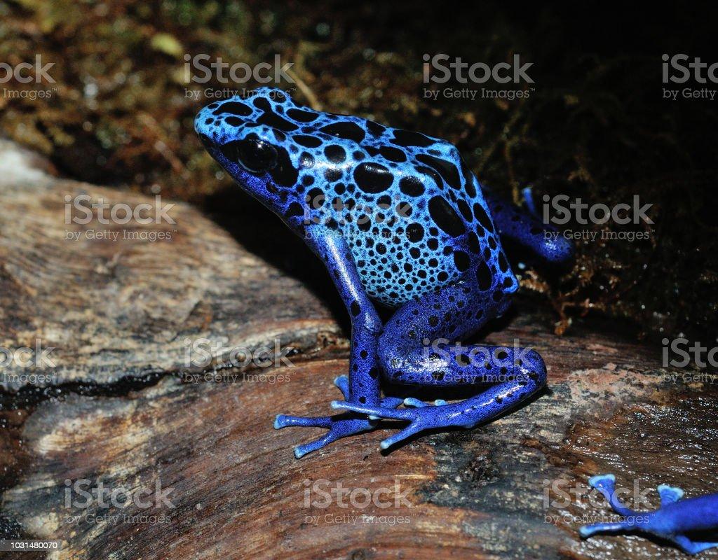 Grenouille Bleue Venimeuse grenouille poison bleue dart – photos et plus d'images de allemagne