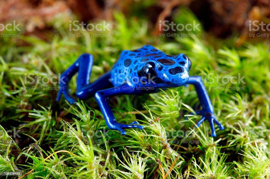 Grenouille Bleue Venimeuse grenouille poison bleue dart – photos et plus d'images de amphibien