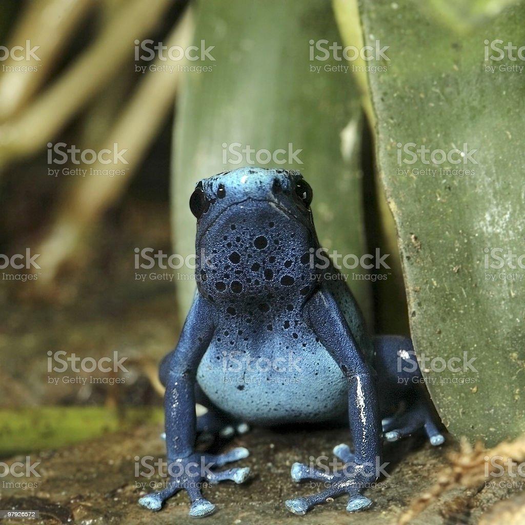 Blue Poison Dart Frog royalty-free stock photo