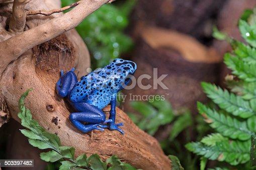 (Blue poison-dart frog (Dendrobates tinctorius azureus)