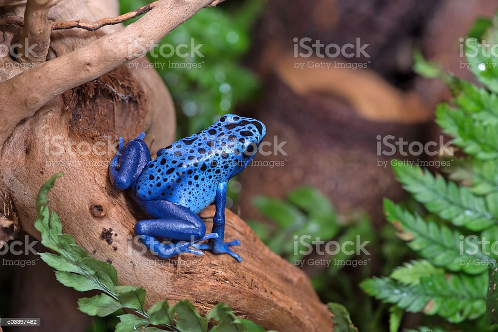dart Grenouille poison bleue - Photo
