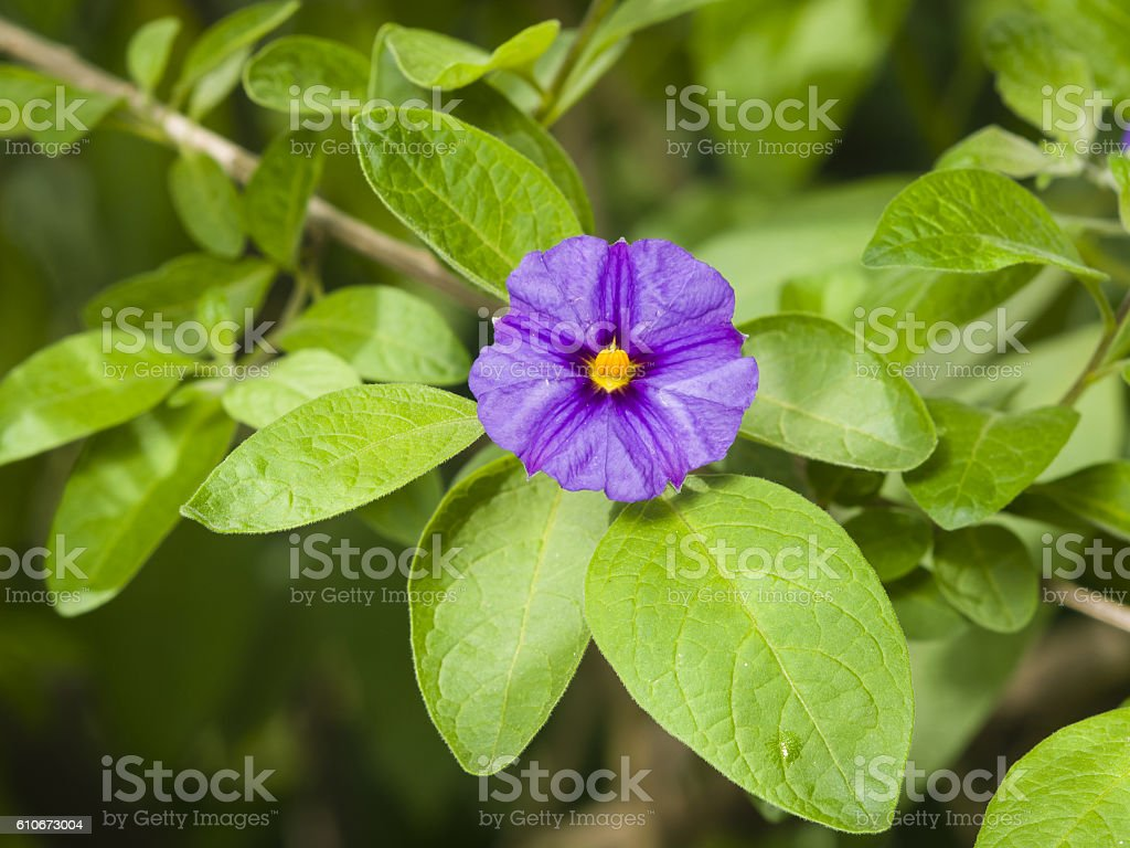 Blue potato bush, Lycianthes rantonnetii, flower macro, selective focus stock photo