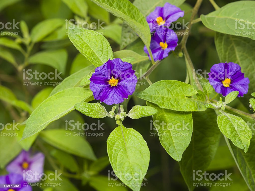 Blue potato bush, Lycianthes rantonnetii, flowers macro, selective focus stock photo