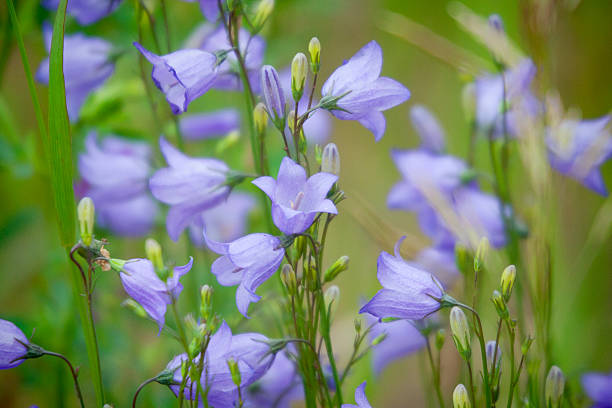 Blue Prairie Harebells Wild Flowers Horizontal image of blue Prairie Harebells in bloom.  Image is soft focus with the sharpest part of the image in the centre.  Some vignetting has been applied to the edge of the image. bluebell stock pictures, royalty-free photos & images