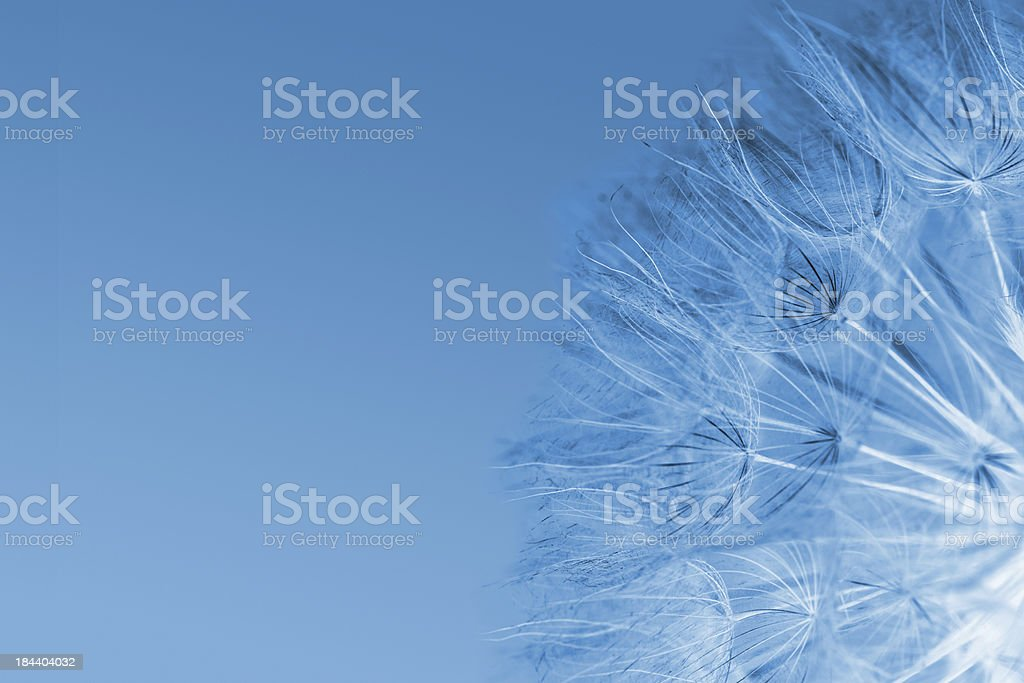 Blue puff ball royalty-free stock photo