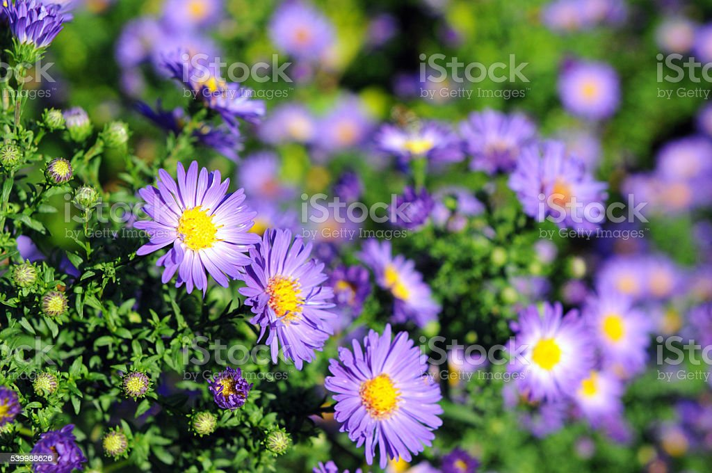 blue purple autumn aster flower stock photo