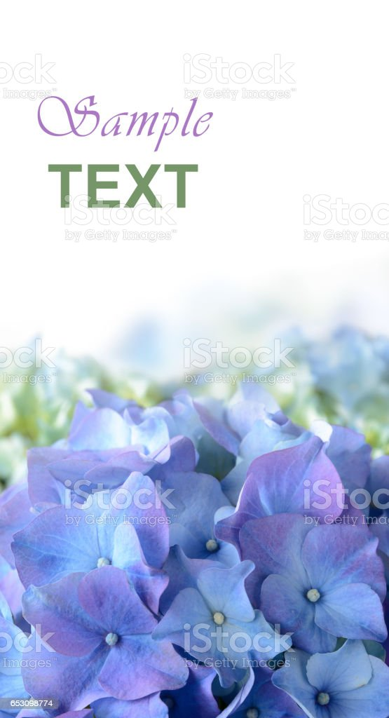 Blue Purple Hydrangea Flower stock photo
