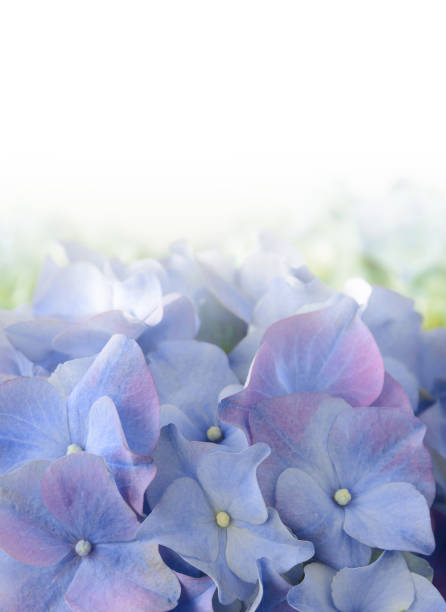 Blue Purple Hydrangea Flower stock photo