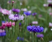 Blue, purple, pink flowers of cornflowers on a background of green grass, on a summer day