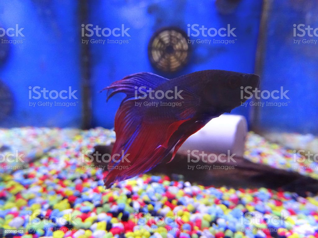 Blue Purple Red Siamese Fighting Fish Tropical Aquariumfishtank