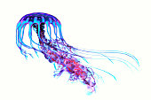 The ocean jellyfish searches for fish prey and uses its poisonous tentacles to subdue the animals it hunts.