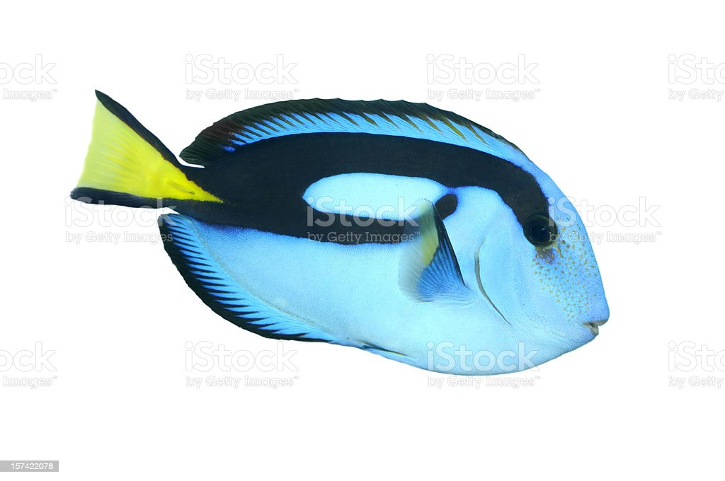 Blue Regal Tank Fish stock photo