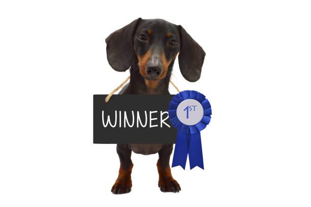 Blue Ribbon Winner Dachshund Dog stock photo