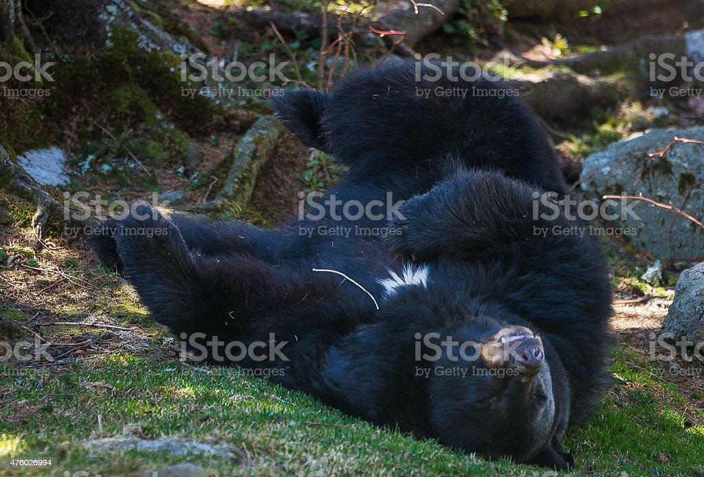 Blue Ridge Mountain Black Bear 2 stock photo