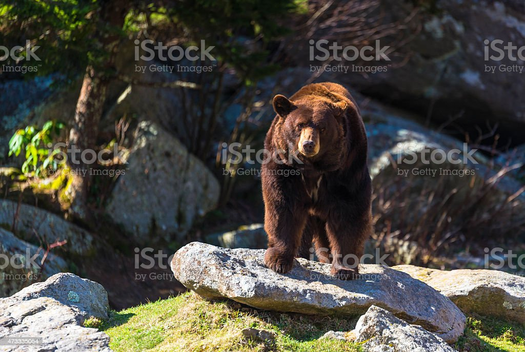 Blue Ridge Mountain Black Bear stock photo