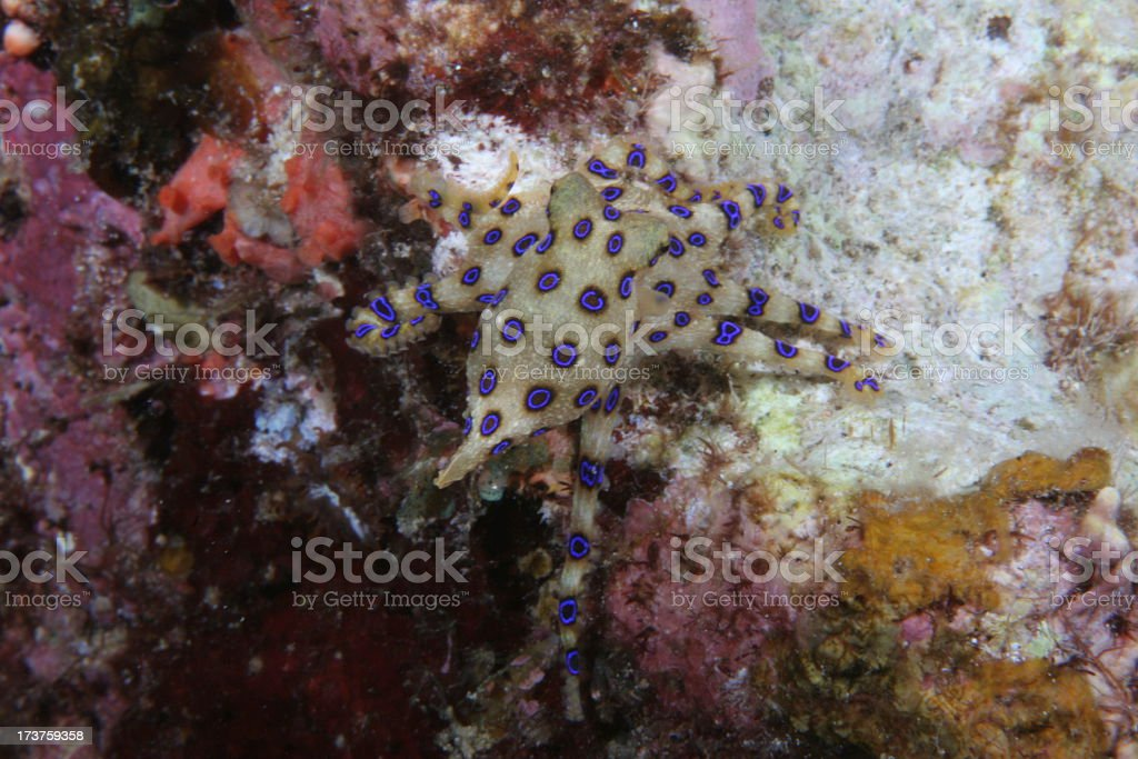 Blue Ring Octopus Inching Away royalty-free stock photo