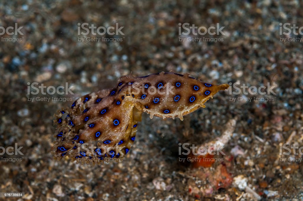 Blue Ring Octopus – Foto