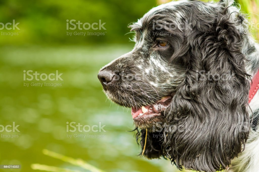 Blue Roan Cocker Spaniel dog Lizenzfreies stock-foto