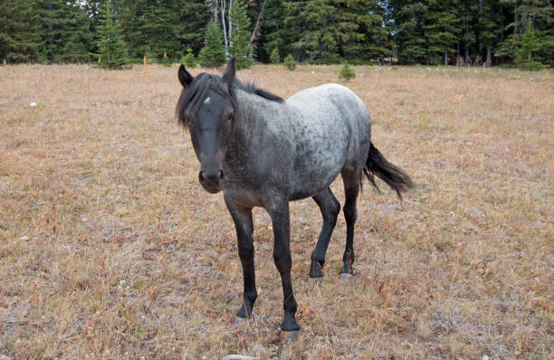 Blue Roan Yearling mare wild horse in the Pryor Mountains Wild Horse Range in Montana United States stock photo