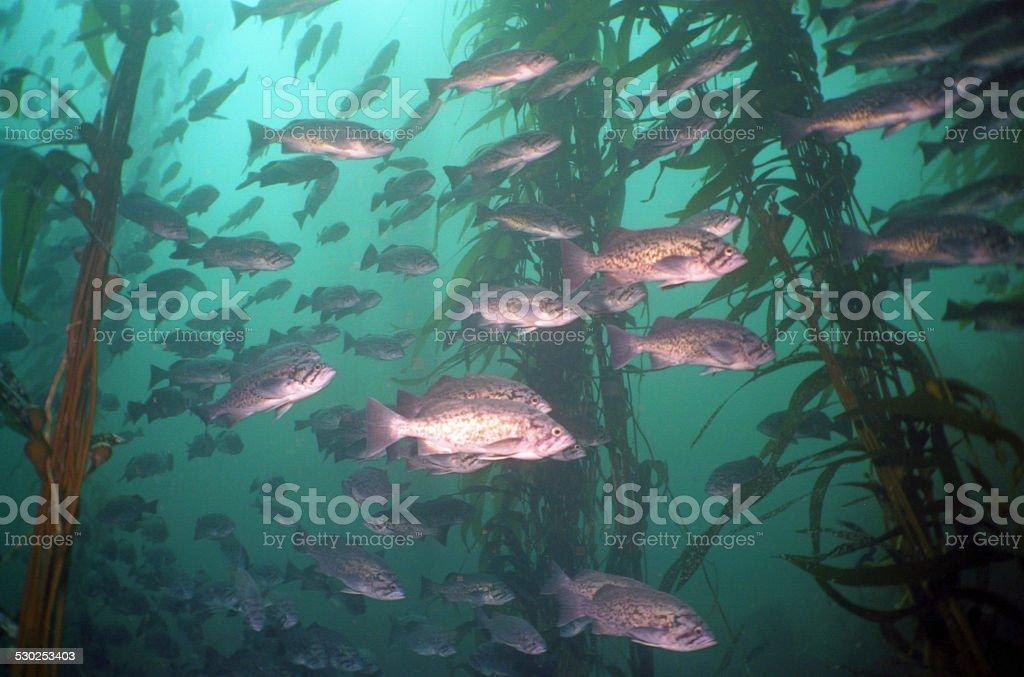 blue rockfish stock photo