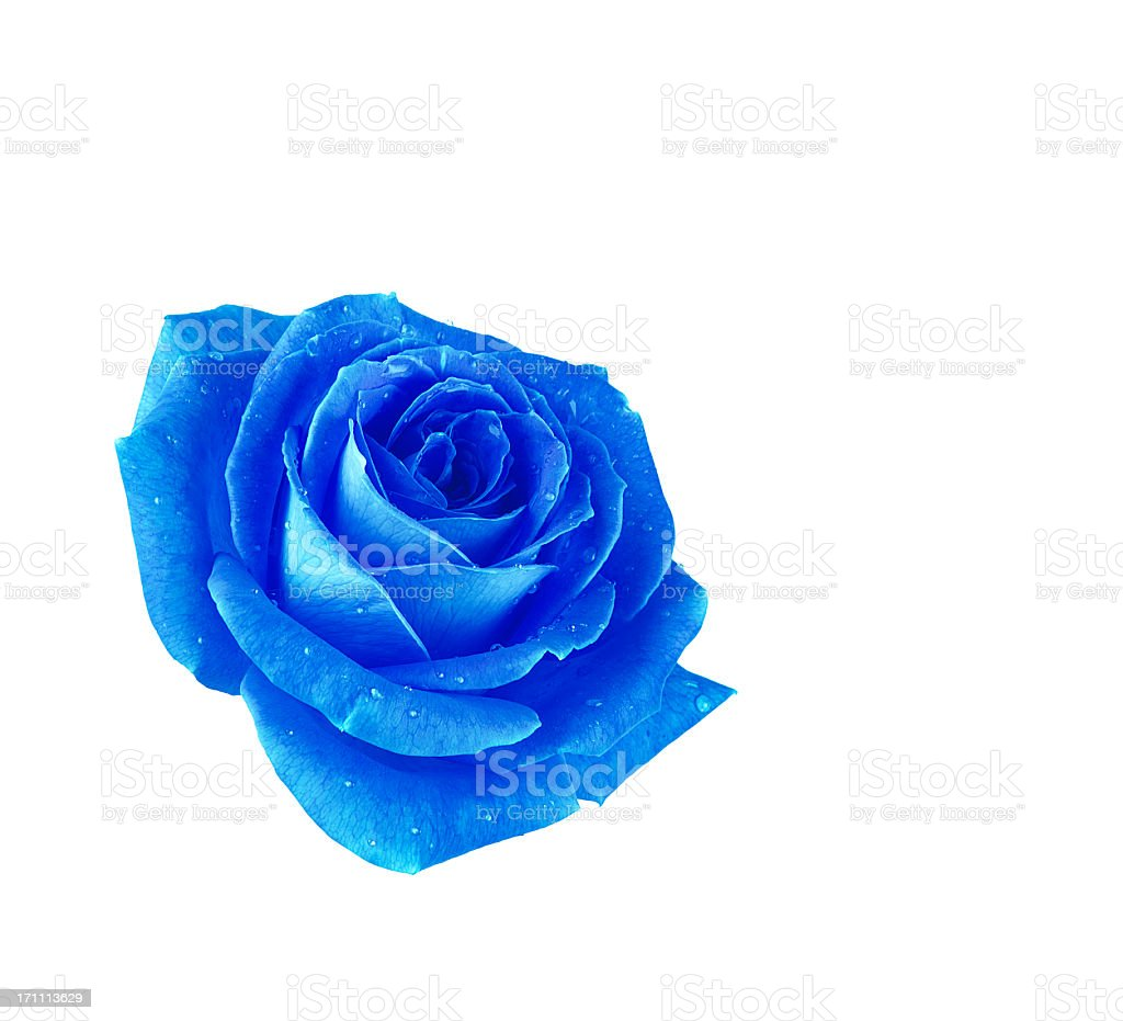 A blue rose against a white background stock photo