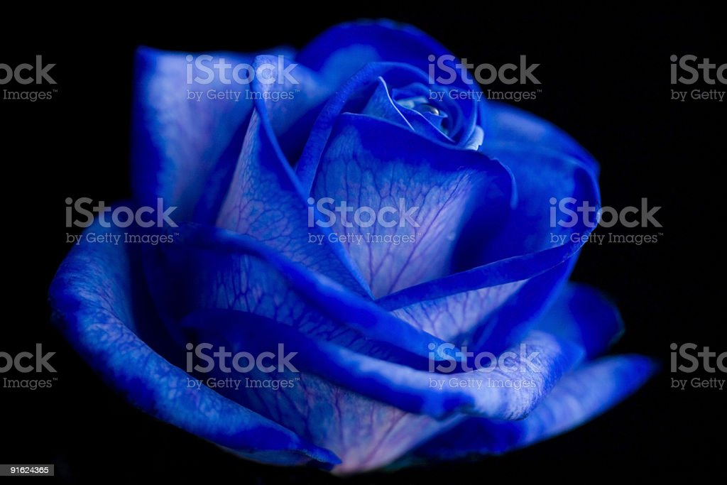 Blue Rose Against Black Background stock photo