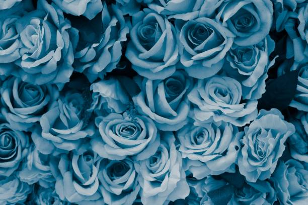 Blue Rose image Close up image of rose brassica rapa stock pictures, royalty-free photos & images