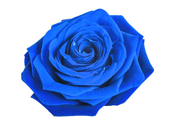 Blue rose isolated on white background picture id527667526?b=1&k=6&m=527667526&s=612x612&w=0&h= wto1481z58jwho6w crt89qnj5ppvbf2m6uwoghbes=