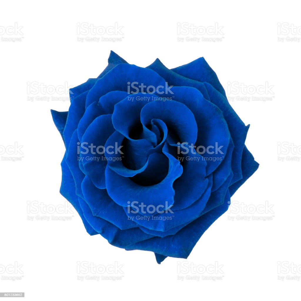 Blue rose isolated on white stock photo