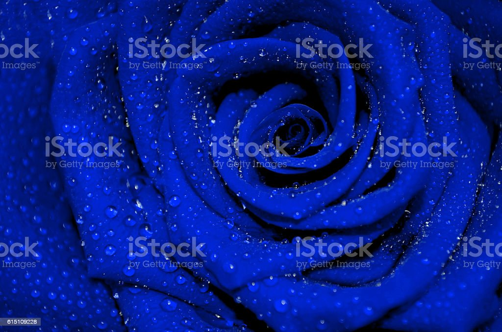 blue rose with rain droplets - Photo