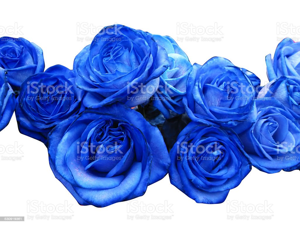 Blue roses stock photo