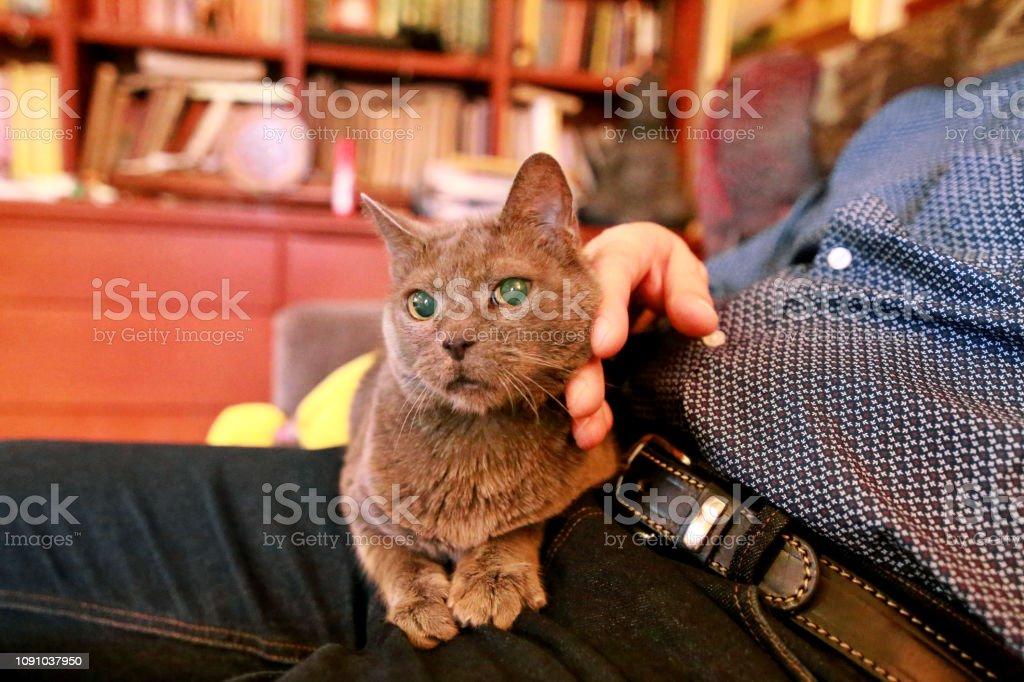Gato russo azul relaxante, mentindo e curtindo estar carinhos, mimos e ronronando no seu dono de volta em casa. Muito bonito pedigree britânico gato doméstico sentado nas pernas do homem. Vida de animal de estimação em casa. - foto de acervo