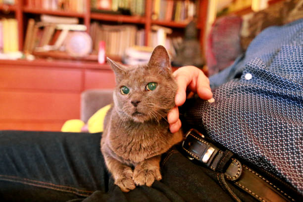 Blue russian cat relaxing, lying and enjoying being cuddled, pampering and purring on his lap owner at home. Domestic pretty cute pedigree british cat sitting on legs of man. Life of pet at house. stock photo