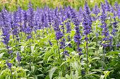 closeup of blue sage flowers in bloom growing in herbal garden