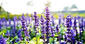 Blue sage flowers in the garden