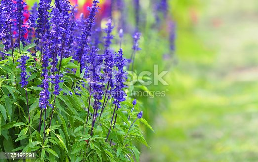 Blue Sage flowers, Salvia farinacea. Beautiful nature, flower garden