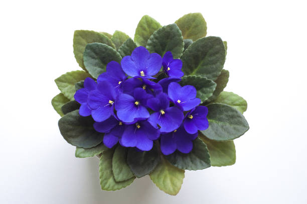 Blue saintpaulia african violet flower from above. Symbol of unaffectedness and faithfulness. stock photo