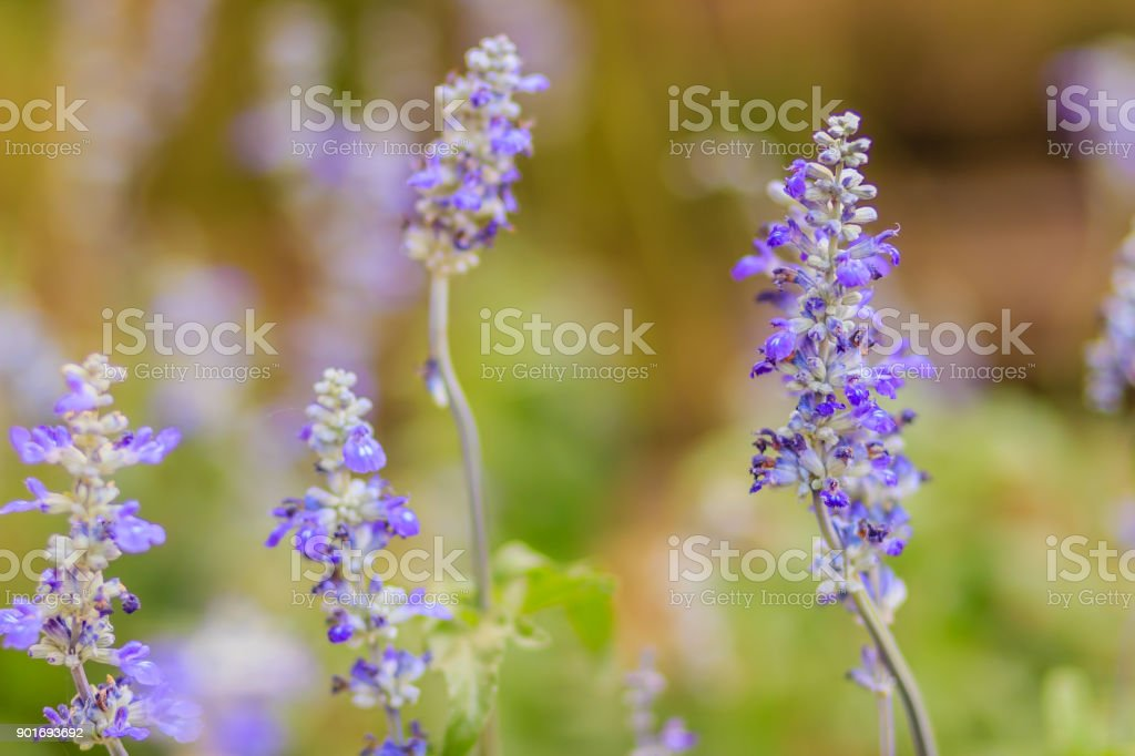 Blue salvia flower (salvia farinacea Benth) or Mealy Cap Sage flower in the garden stock photo