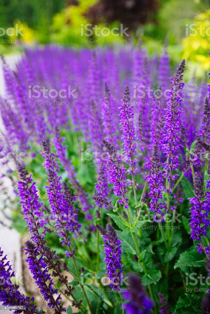 Blau salvia (Salvia Farinacea) Blumen erblühen – Foto