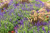 Bumenbeet mit blauen Salvia nemorosa Blüten und Ziergras