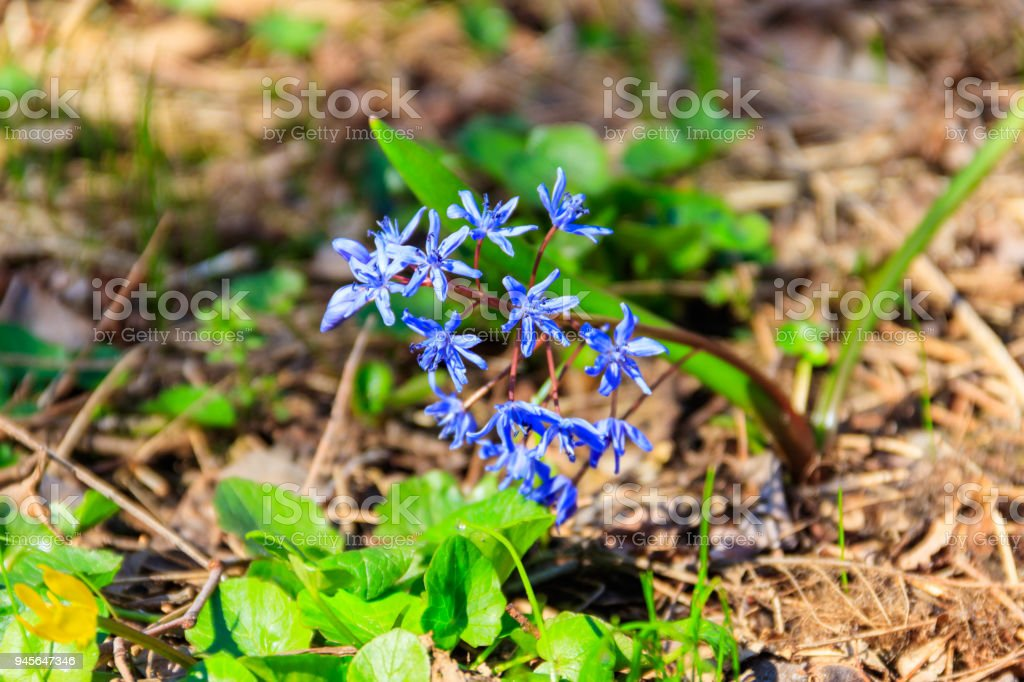Blue scilla flower (Scilla bifolia) or Squill in forest on spring stock photo