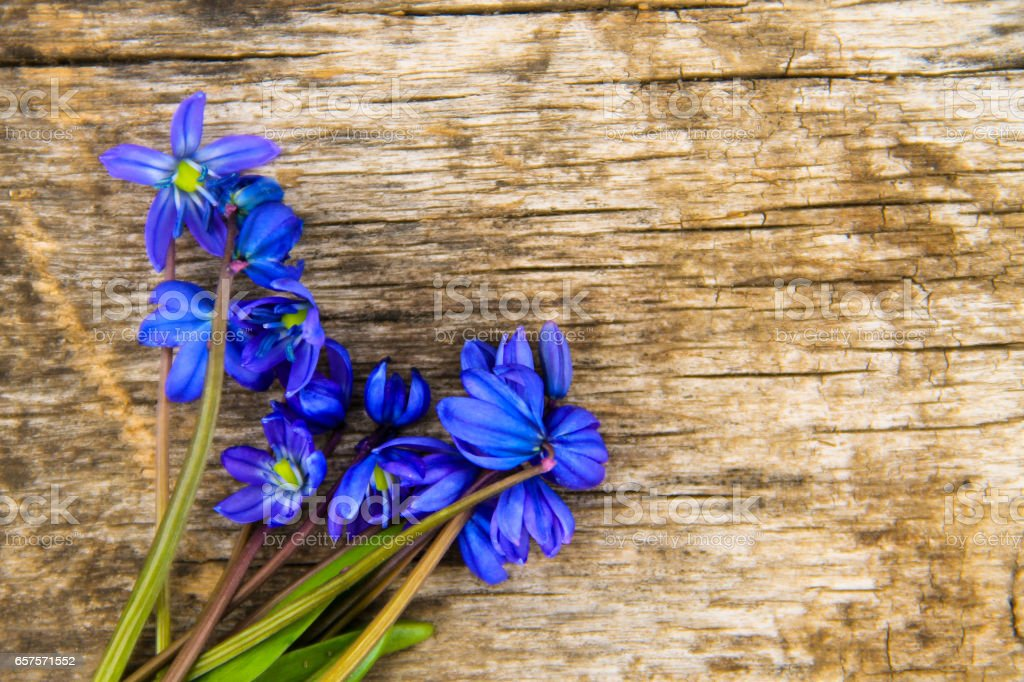 Blue scilla flowers (Scilla siberica) or siberian squill on wooden background stock photo