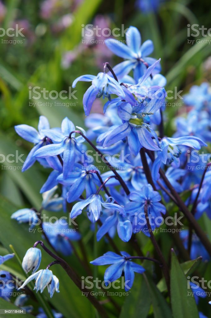 Blue scilla siberica flowers close up with green vertical stock photo